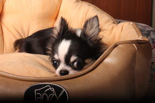 Free stock photo of chihuahua, cute chihuahua, dog