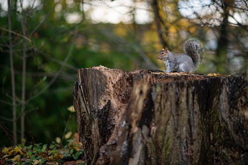 Gray Squirrel on Brown Tree Trunk