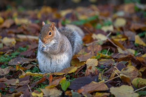 Squirrel on Brown Dried Leaves