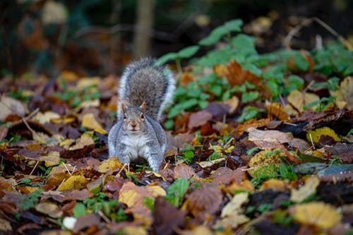 Gray Squirrel on Brown Dried Leaves