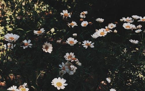 Free stock photo of daisy, dark green, flower