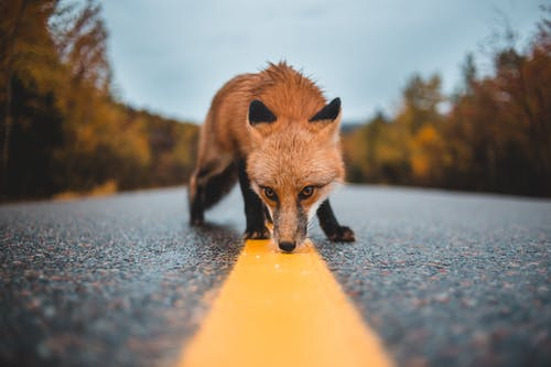 Images libres de droits de animal, asphalte, bande, bande de circulation