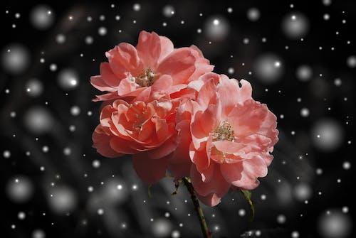 คลังภาพถ่ายฟรี ของ ดอกกุหลาบ, ดอกไม้, ต้นไม้, พืช