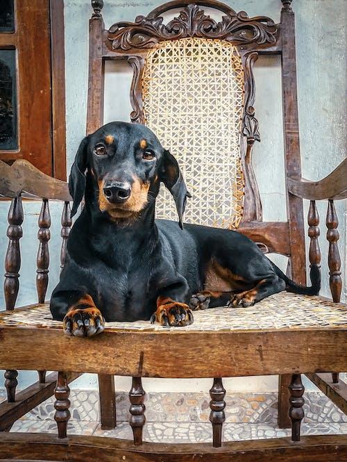 Immagine gratuita di animale, animale domestico, bassotto, cane
