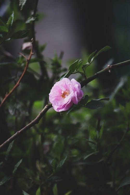 Fotos de stock gratuitas de botánica, camelia, color
