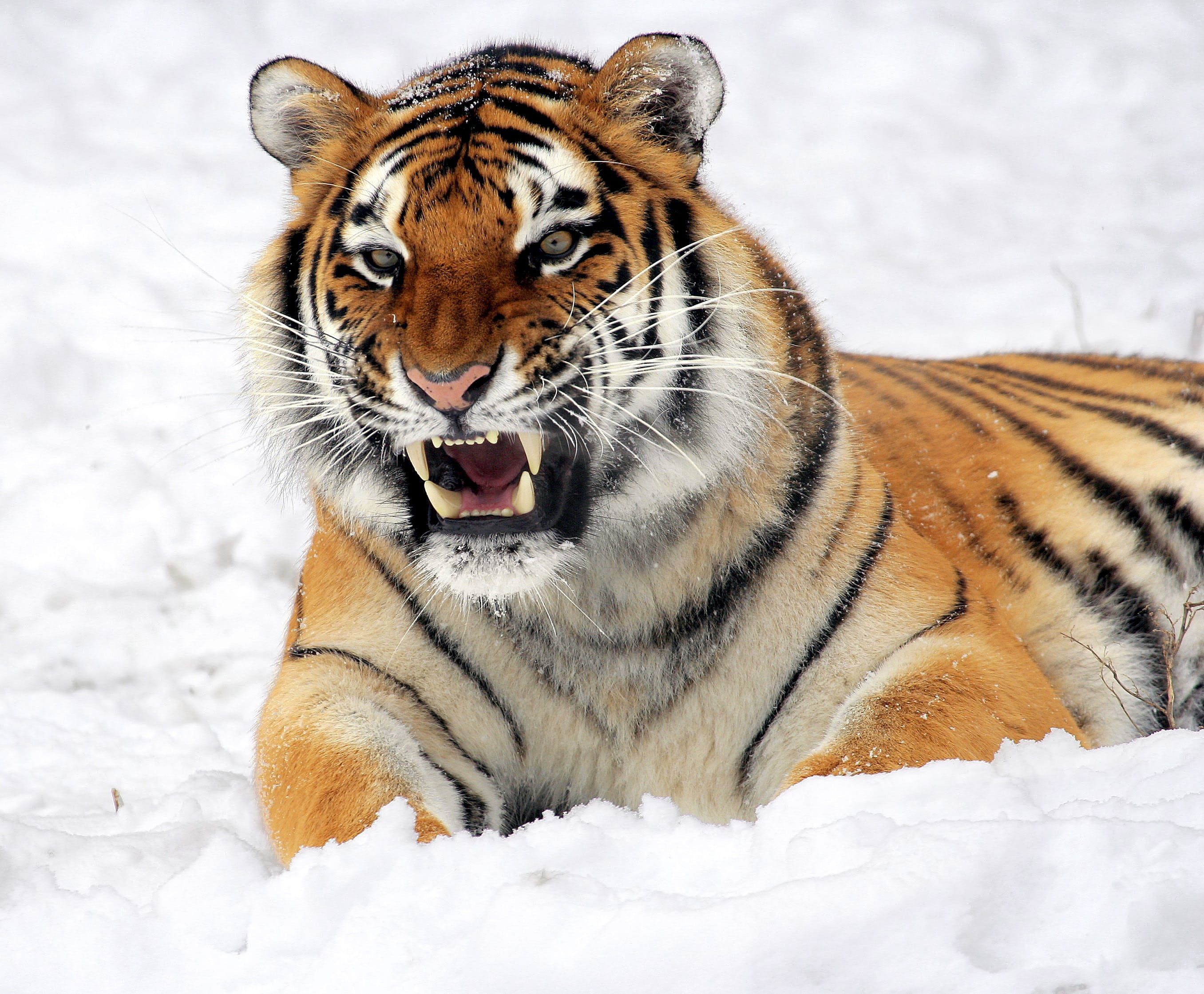 Photo of Tiger Showing His Fangs While Lying on White Surface