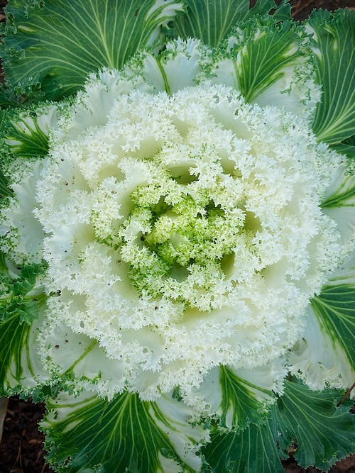 From above texture of decorative ornamental flowering white cabbage with green leaves leaves growing in soil