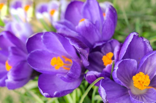 Free stock photo of beautiful, blooming crocuses, closeup