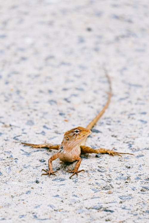 Close Up of Brown Lizard