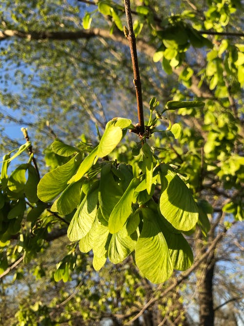 Free stock photo of green leaves, maple leaves, maple tree