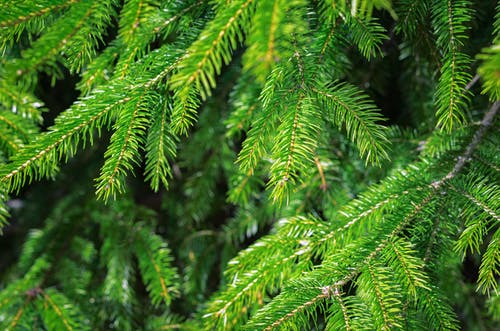 Free stock photo of branch, christmas tree, closeup, conifer