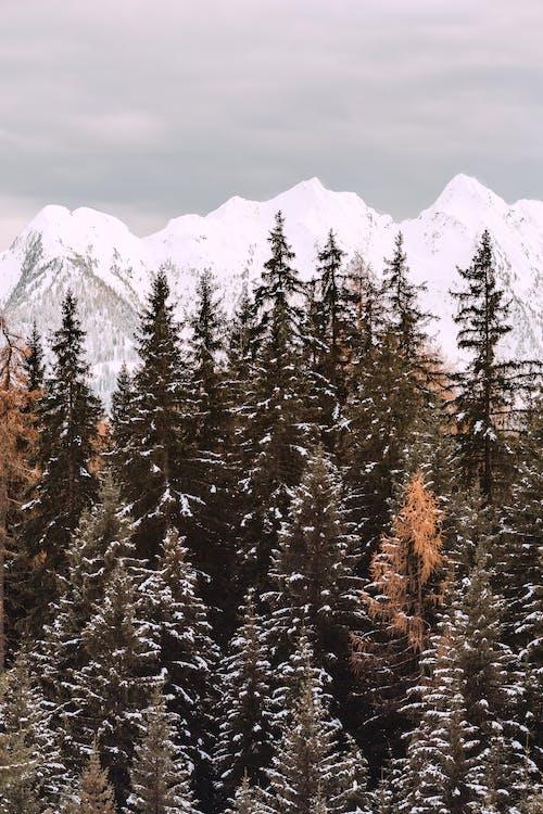 Photo Of Coniferous Trees