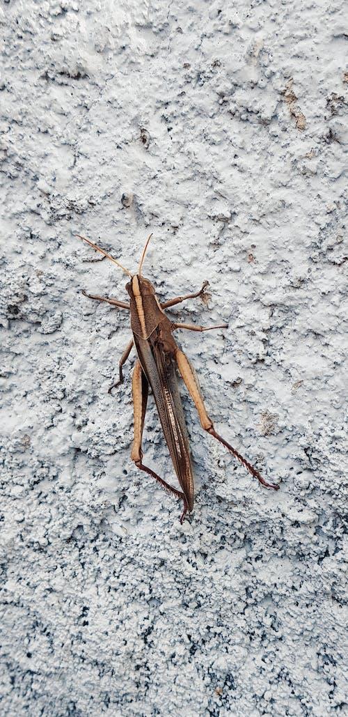 Free stock photo of animal, close up, cricket, gray background