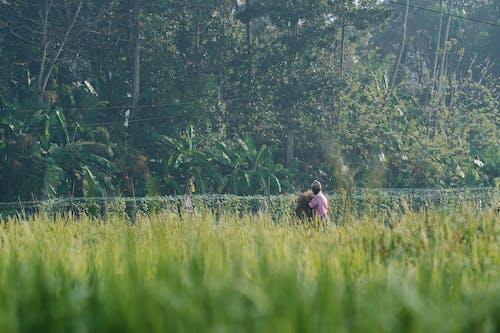 Fotos de stock gratuitas de al aire libre, arboles, arrozal
