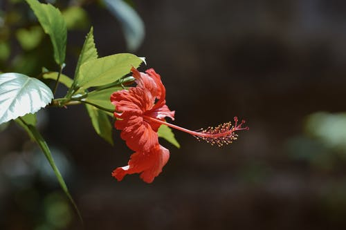 Close-Up Photo Of Hibiscus Flower