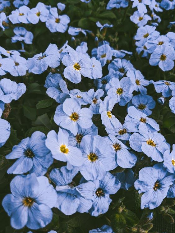 Blue Flowers in Bloom