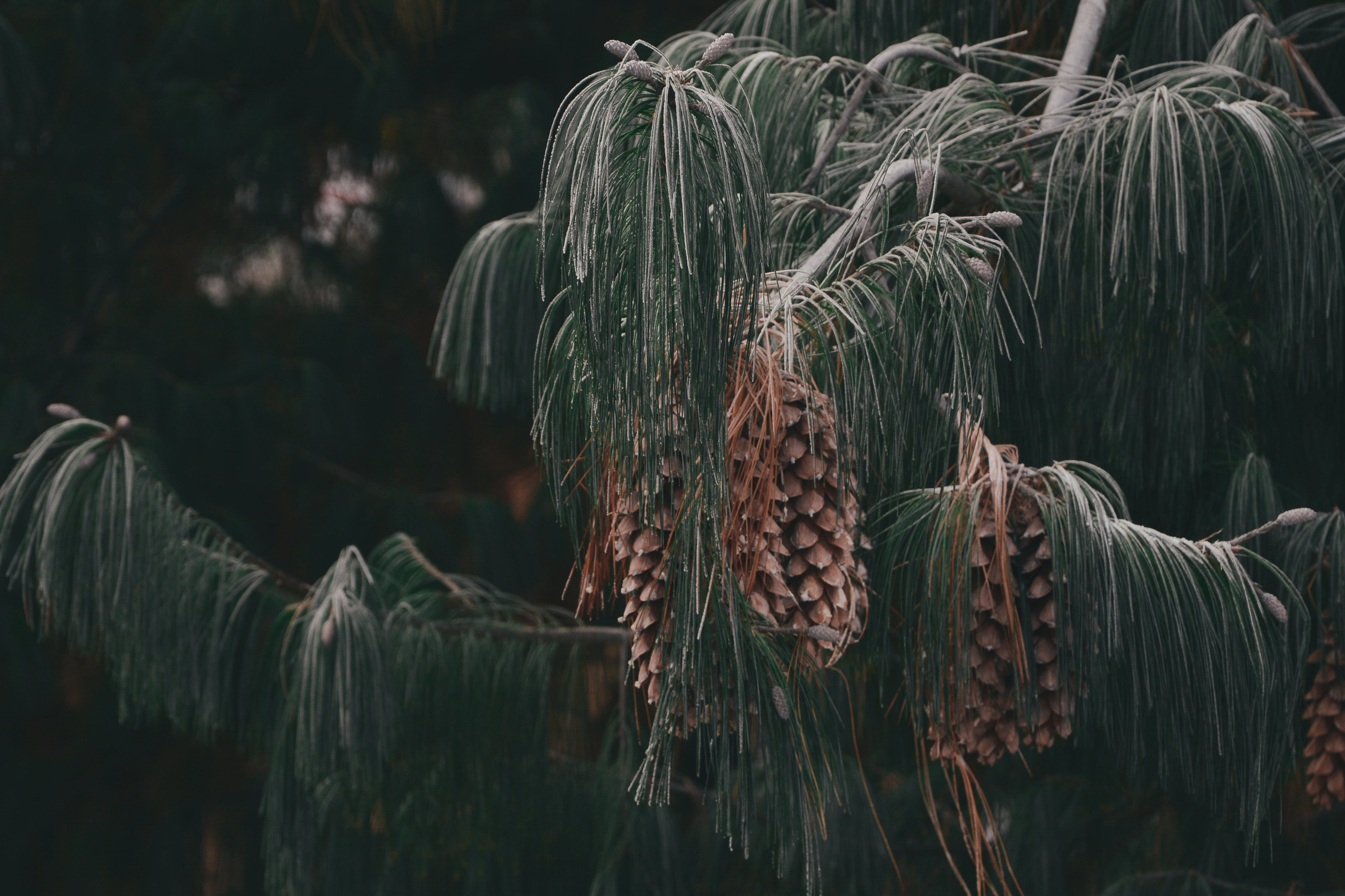 Free stock photo of black, branch, bud, cones