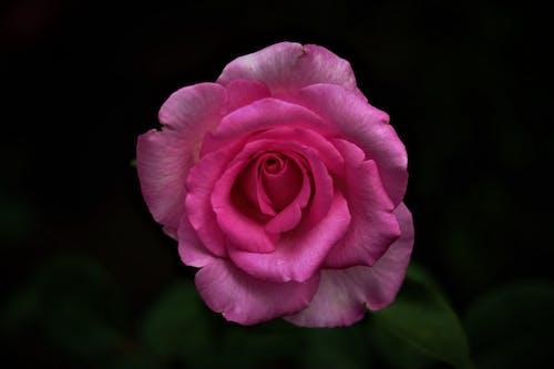Kostenloses Stock Foto zu garten, liebe, rose