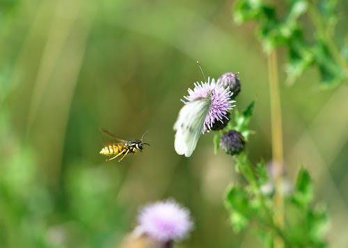 Immagine gratuita di ape, vespa