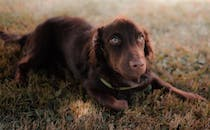 Photo Of Brown Dog Laying On Grass