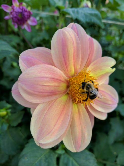 Free stock photo of animals, bee, bee and flower, flower