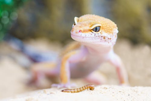 Shallow Focus Photography of Brown Gecko