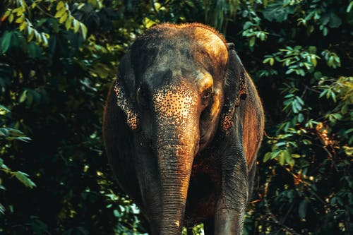 Brown Elephant in Forest