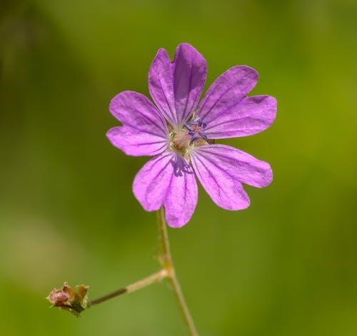 Základová fotografie zdarma na téma barva, fialová kytka, flóra, hloubka ostrosti