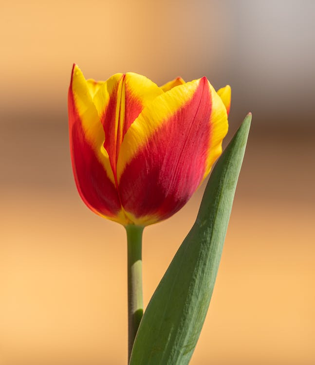 Red and Yellow Tulip in Bloom