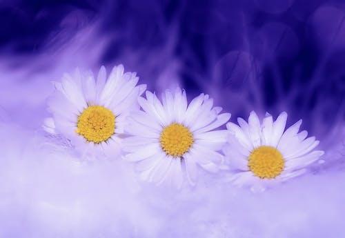꽃, 데이지, 매크로, 식물군의 무료 스톡 사진