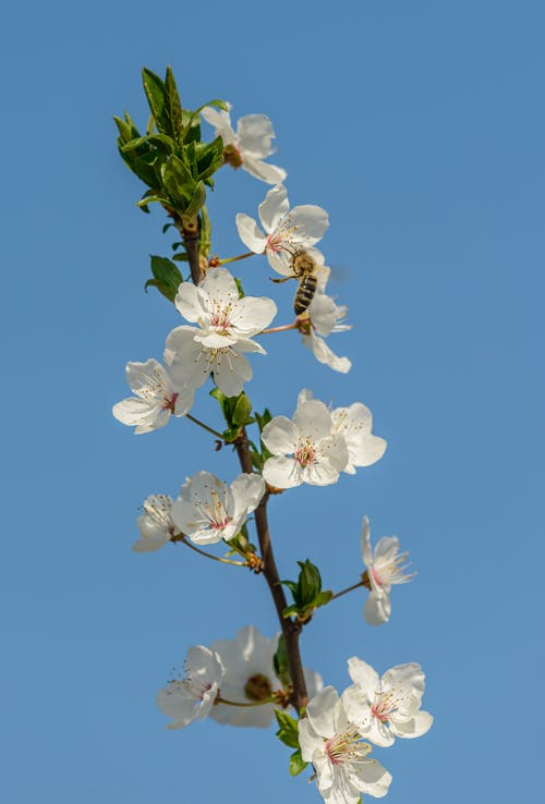 White Cherry Blossom in Bloom