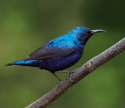 Blue and Black Bird on Brown Tree Branch