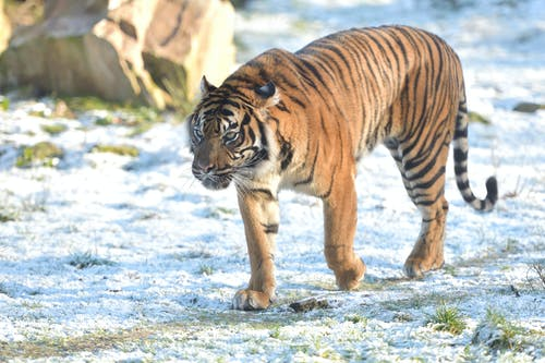 Brown and Black Tiger Walking on Snow Covered Ground