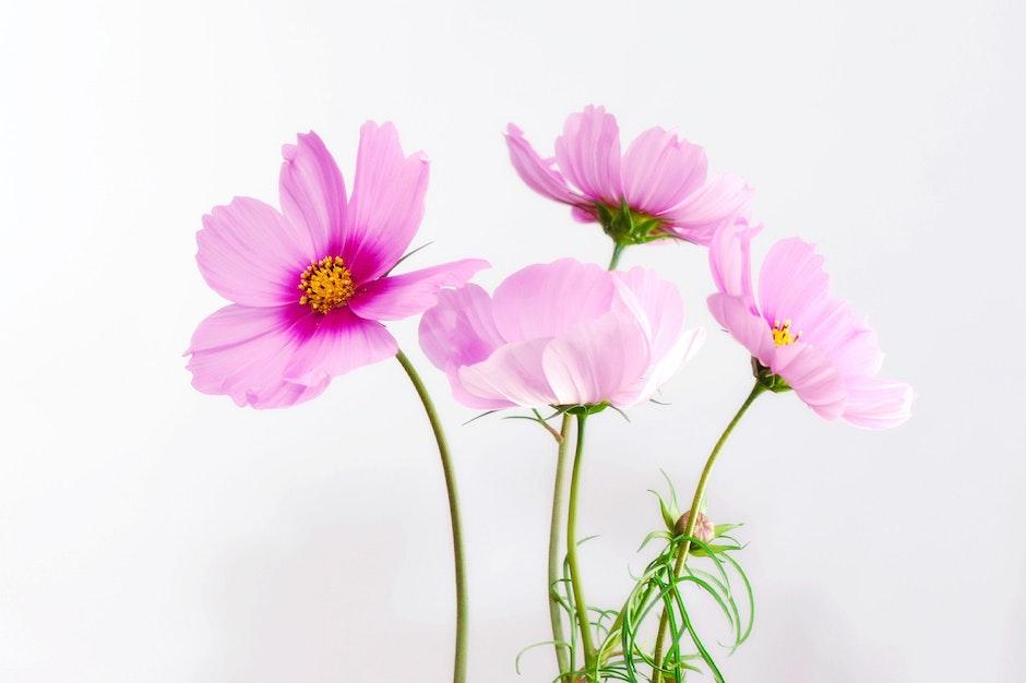 احلى ورود 2017, زهور منوعة اجمل ملونة 2018 cosmea-flower-blosso