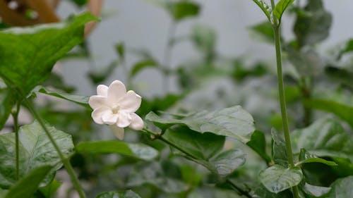 Free stock photo of bushes, flower bud, jasmine