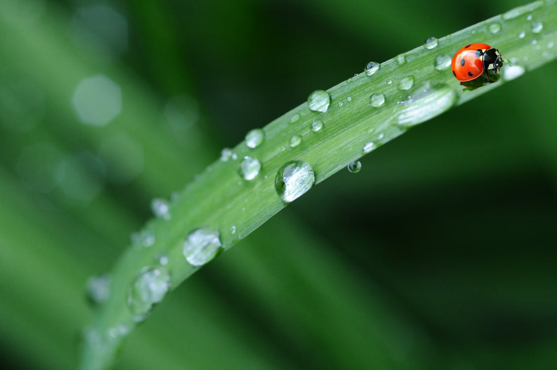Red Ladybug in Green Grass