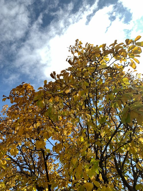 From below of bright yellow tree growing in park against sun shining through cloudy sky on autumn day