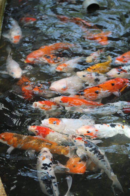 White and Orange Koi Fishes