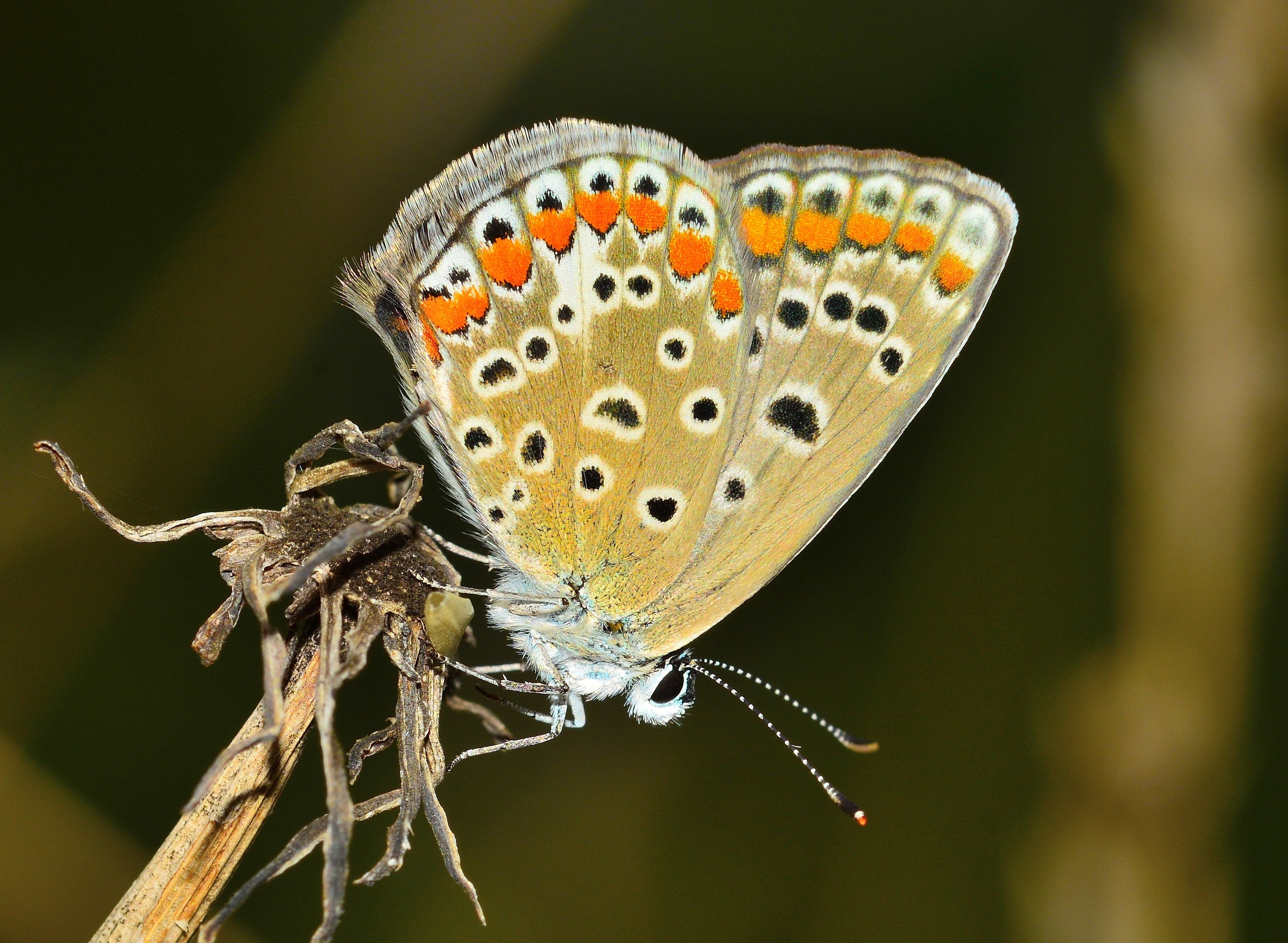Shallow Focus Photography of Eastern Tailed-blue Butterfly