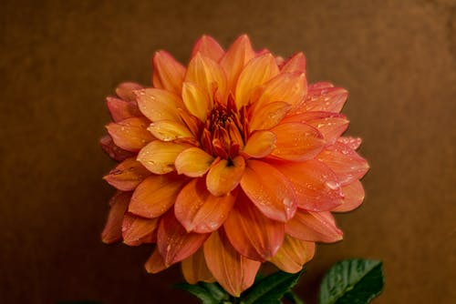 High angle of fresh bright delicate orange dahlia flower with droplets on petals against brown background