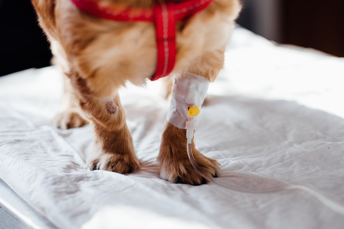 Dog with Intravenous Line on His Leg