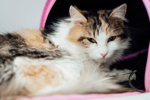 White Black and Brown Cat Lying on Pink and White Textile