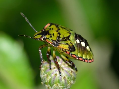 Green and Black Shield Bug