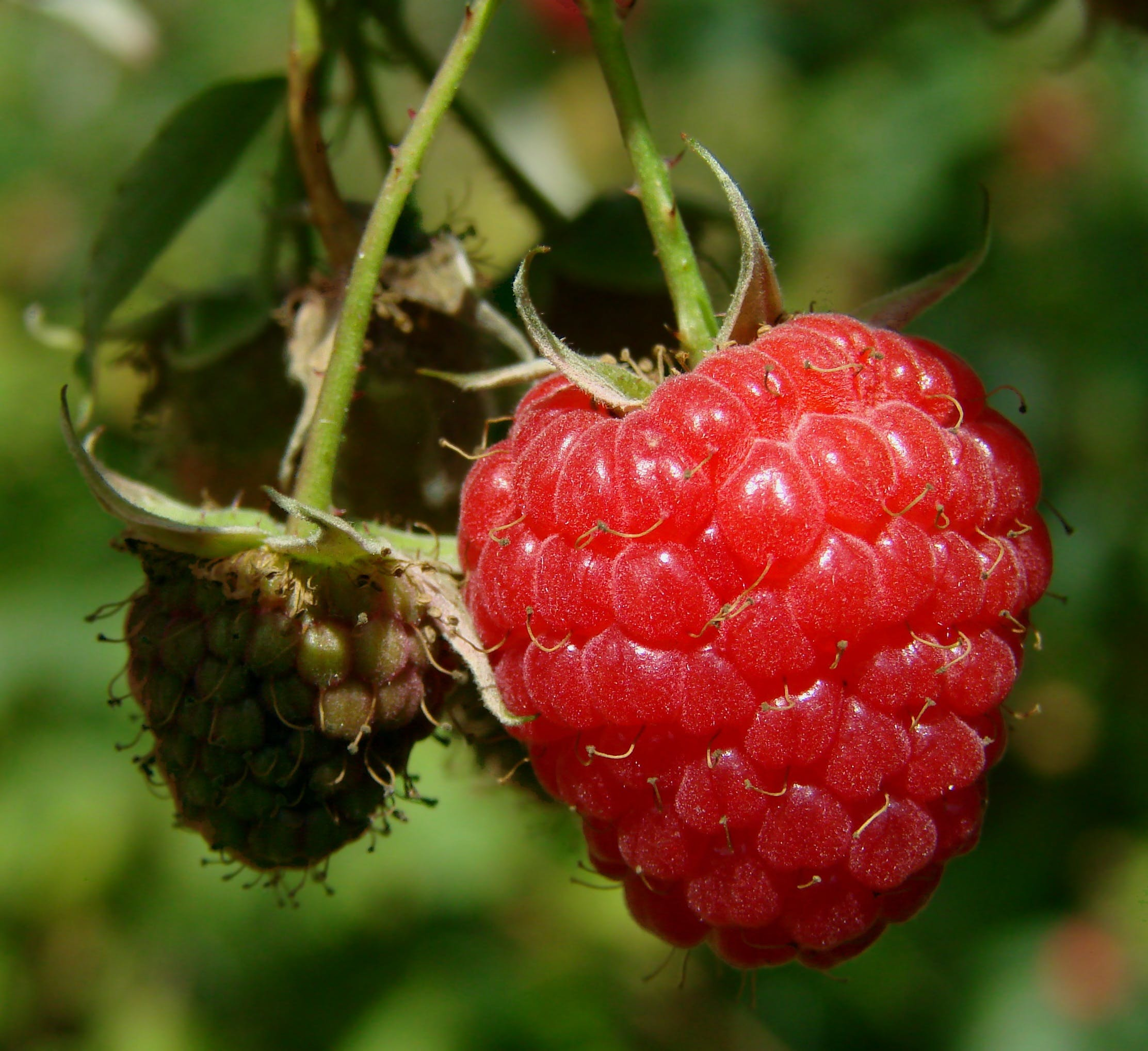 Red Raspberry on the Plant