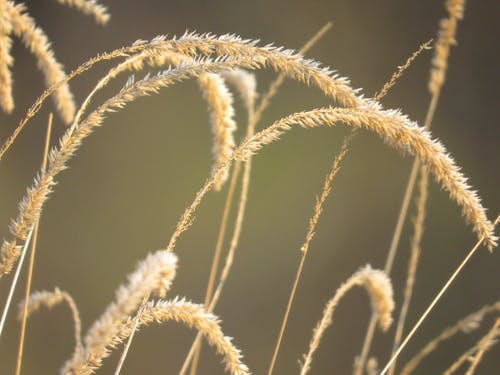 Thin dry golden grass growing in agricultural field