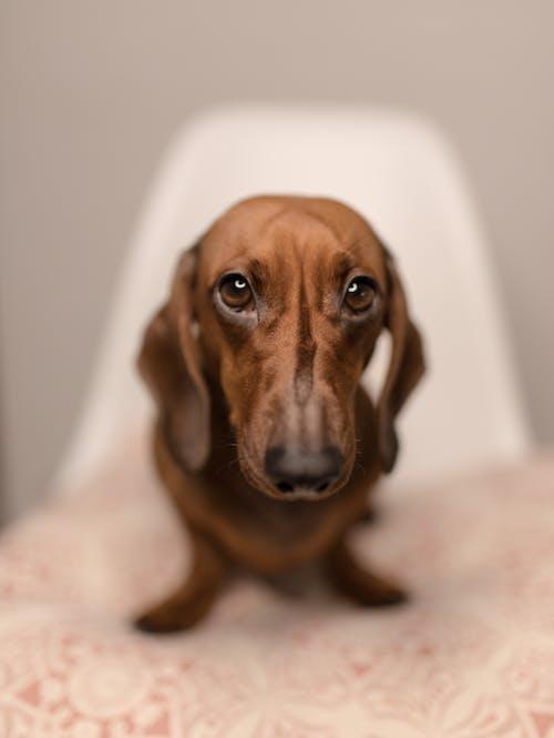 Brown dachshund with faithful eyes