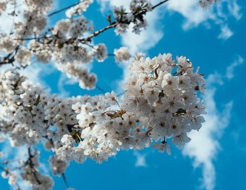 Бесплатное стоковое фото с весенний цветок, ветвь, вишня, голубое небо