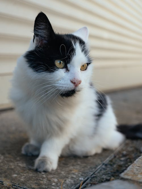 Tuxedo Cat Sitting on Ground
