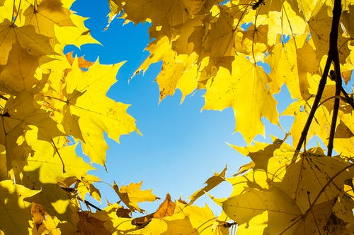 Yellow Maple Leaves Under Blue Sky