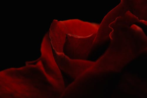 Red Rose in Dark Room